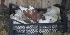 Edirne'de güvercin tavşan yavrularını sahiplendi