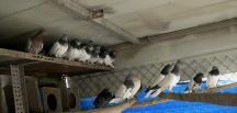 """""""Kaçak güvercinler"""" satılamadı"""