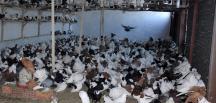 İcradan satılık 2 bin güvercin