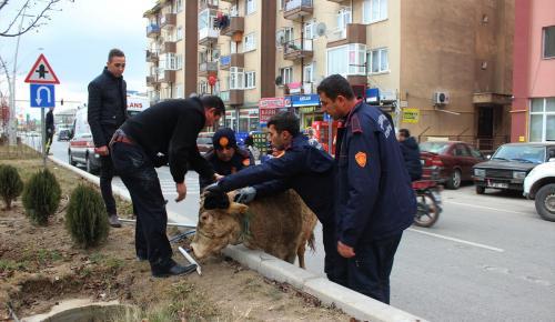 Kaçan dana polis ve itfaiye ekiplerine zor anlar yaşattı