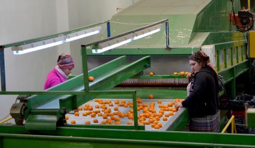 Seferihisar mandalinası Moğolistan yolunda