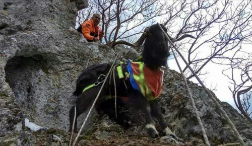 Dağda mahsur kalan keçiyi AFAD kurtardı