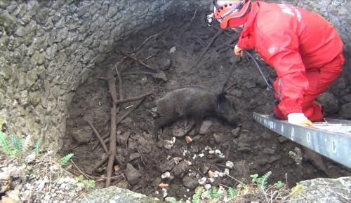 Kuyuya düşen domuz kurtarıldı