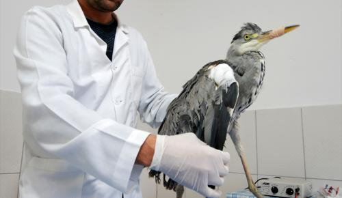 Kanadı kırık balıkçıl kuşu tedavi altına alındı